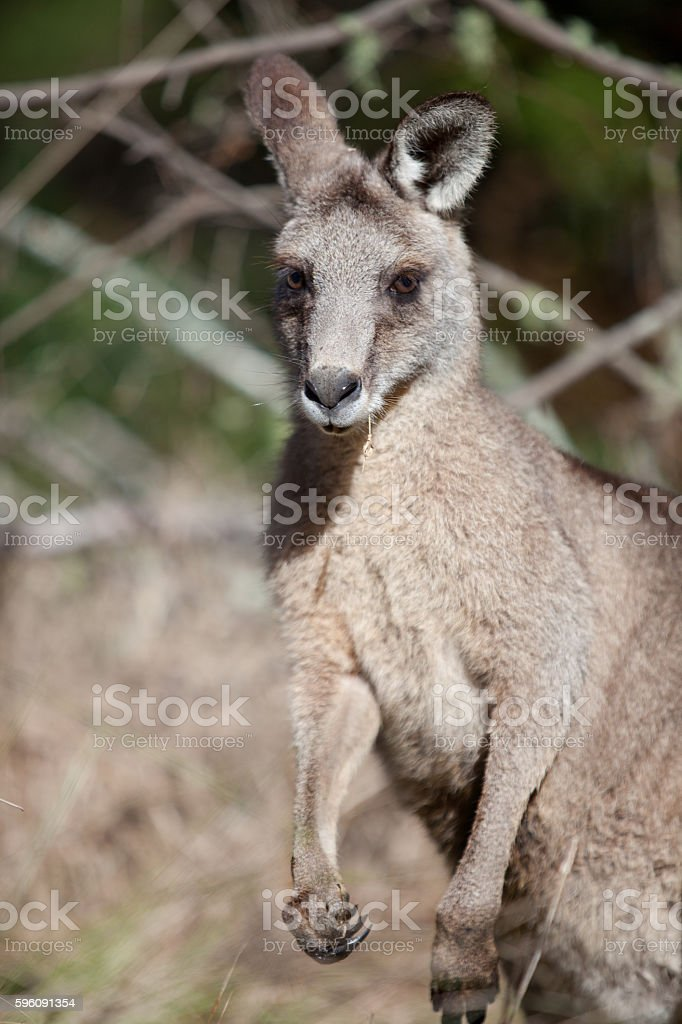 Eastern grey kangaroo in the Blue Mountains of Australia royalty-free stock photo