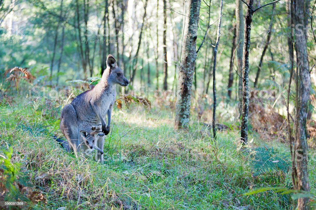 Eastern grey kangaroo mother and joey in the Blue Mountains royalty-free stock photo