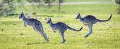 Eastern Grey Kangaroo showing bounding hopping action