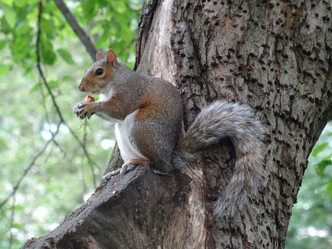 View of a eastern grey squirrel eating a nut on a tree branch in Central Park, New York