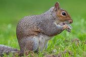 istock Eastern grey squirrel (sciurus carolinensis) 1291065044
