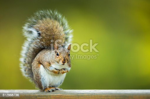 istock Eastern Grey Squirrel (Sciurus carolinensis) 512968736