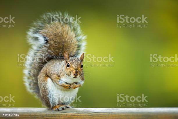 Photo of Eastern Grey Squirrel (Sciurus carolinensis)