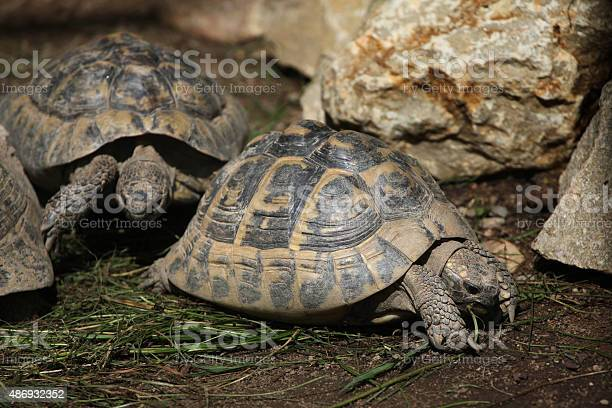 Eastern hermanns tortoise picture id486932352?b=1&k=6&m=486932352&s=612x612&h=g9etoptbyl9c1jcl3jkacalag xe11tdpmvzxgu507u=