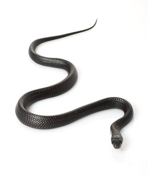 eastern indigo snake - schwarze schlange stock-fotos und bilder
