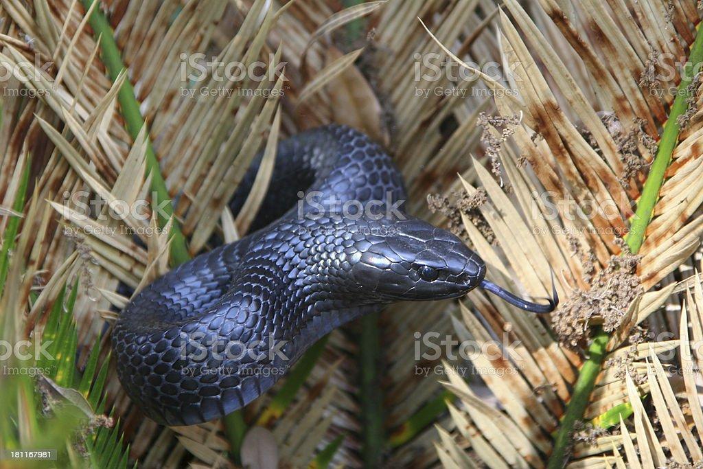 Eastern Indigo Snake stock photo