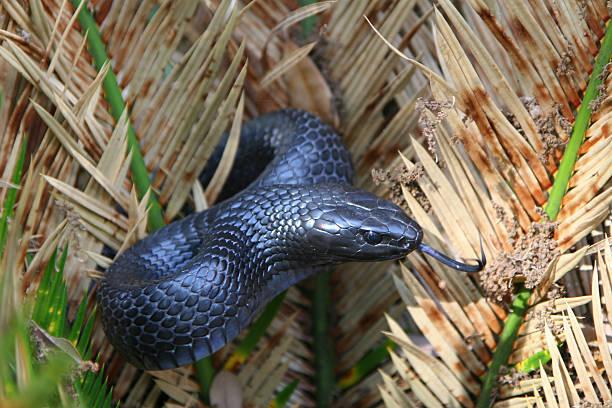 eastern indigo snake - 東方 個照片及圖片檔