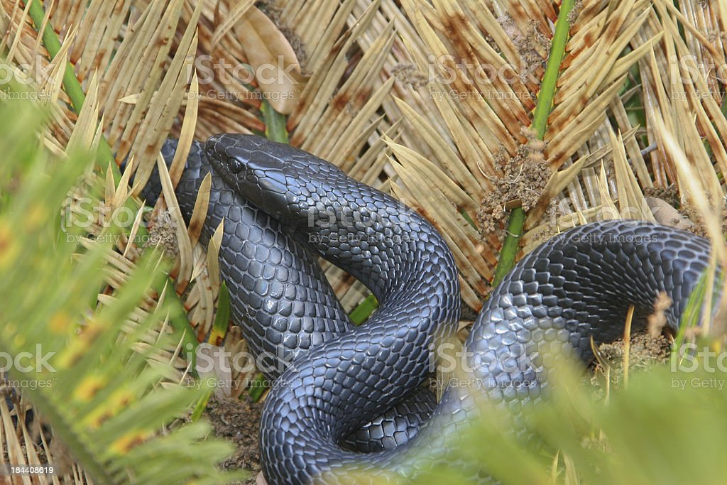 Eastern Indigo Snake royalty-free stock photo