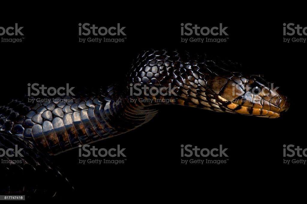 Eastern indigo snake (Drymarchon couperi) stock photo