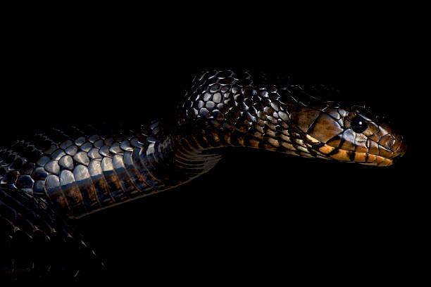 östliche indigo-schlangen (drymarchon couperi - schwarze schlange stock-fotos und bilder