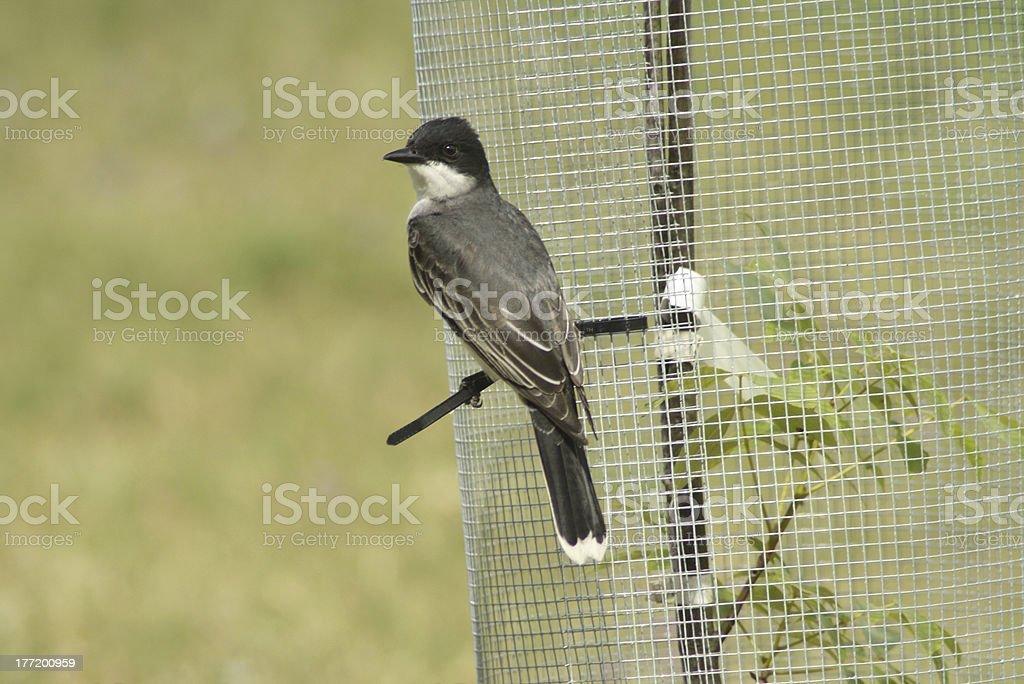 Eastern Kingbird royalty-free stock photo