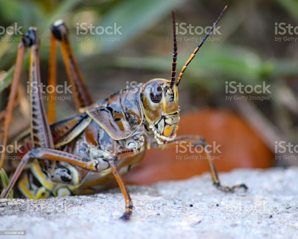Eastern Lubber Grasshopper Laying Eggs Stock Photo Download Image Now Istock