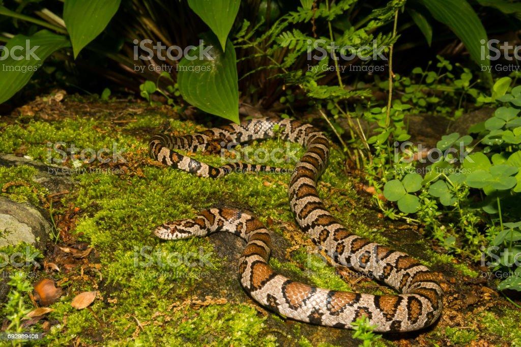 Eastern Milk Snake stock photo