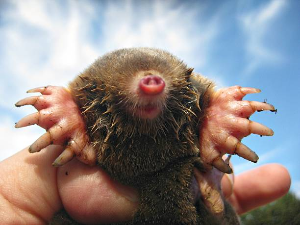 Eastern Mole | Massive Digging Paws Man holding an Eastern Mole against a blue sky. Massive digging claws. mole animal stock pictures, royalty-free photos & images