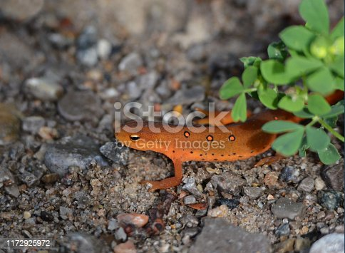Eastern Red Spotted Newt on gravel road