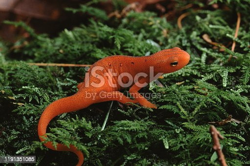 Eastern Newt Red Eft (Notophthalmus Viridescens). Photographed by acclaimed wildlife photographer and writer, Dr. William J. Weber.