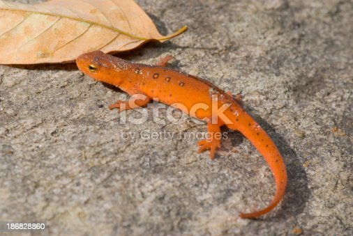 An Eastern Newt in its juvenile terrestrial stage of life before re-entering the water.