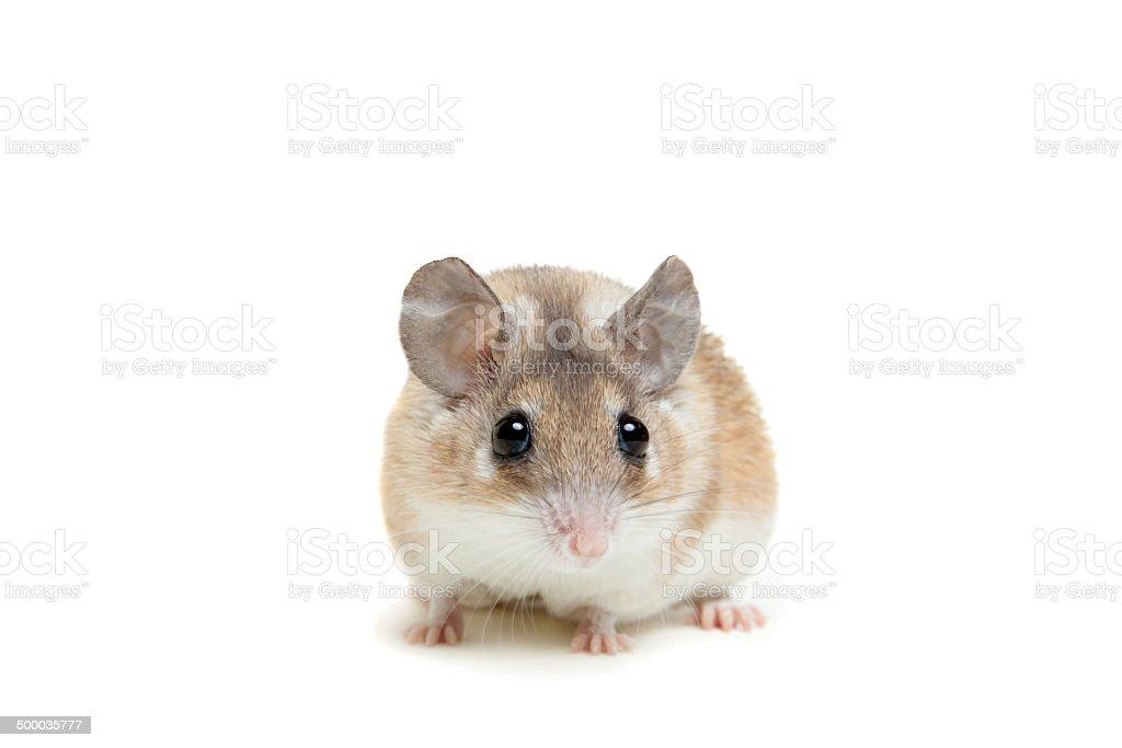 Eastern oder arabischen spiny Maus, Acomys dimidiatus – Foto
