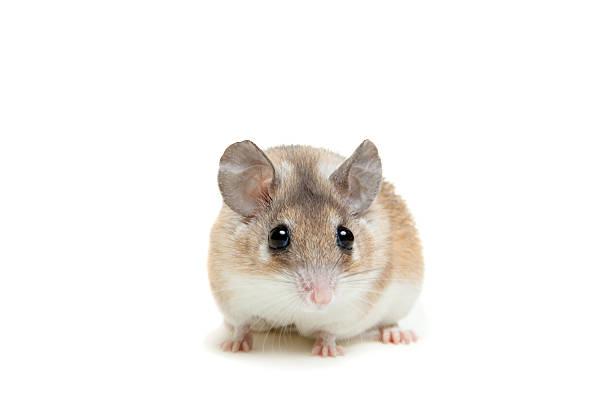 Eastern or arabian spiny mouse, Acomys dimidiatus stock photo