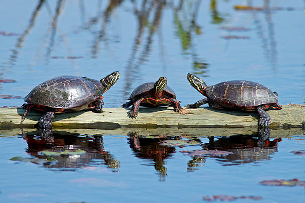 Eastern Painted Turtle stock photo
