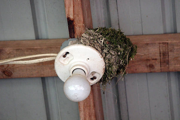 eastern phoebe bird nest on a light fixture - pam schodt stock photos and pictures