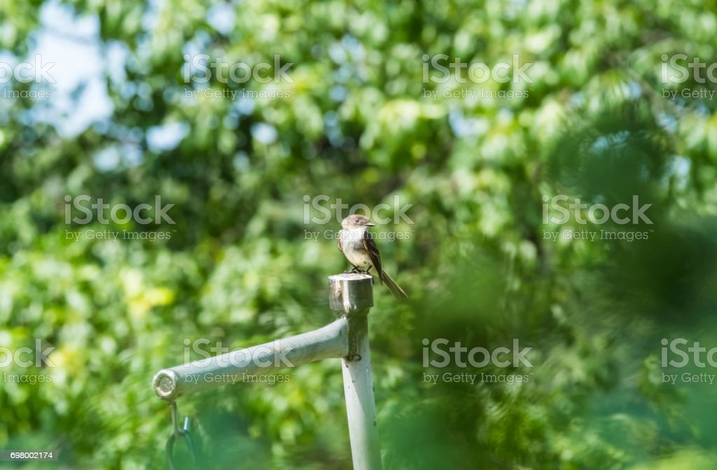 Eastern Phoebe Bird Perched On A Post stock photo