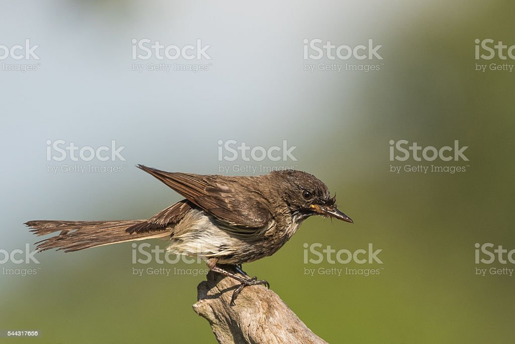 Eastern Phoebe perched after taking bath stock photo