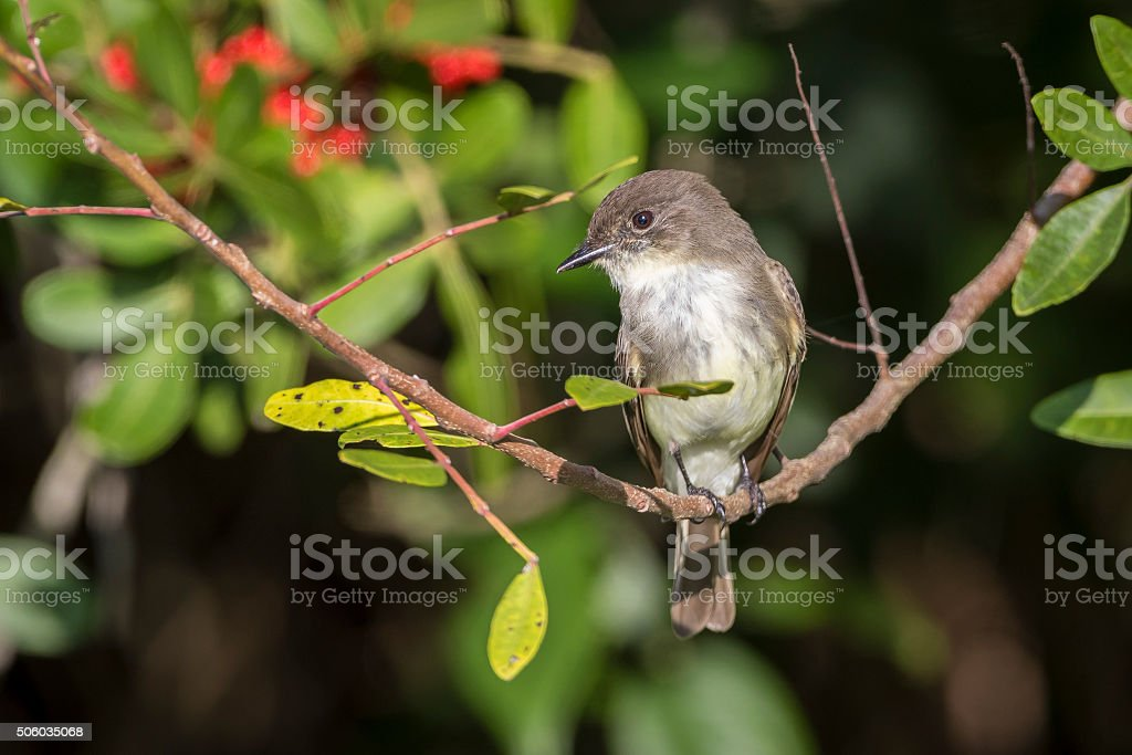 Eastern Phoebe Perched in a Brazilian Pepper Tree stock photo