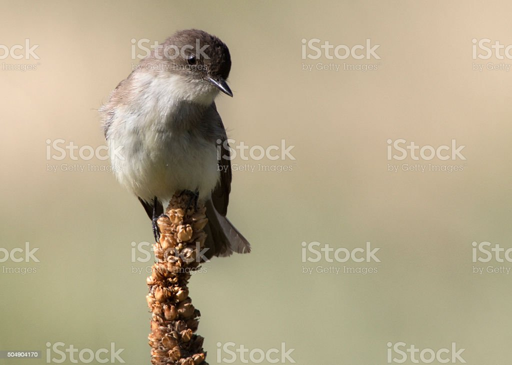 Eastern Phoebe perched in Colorado Chatfield State Park stock photo