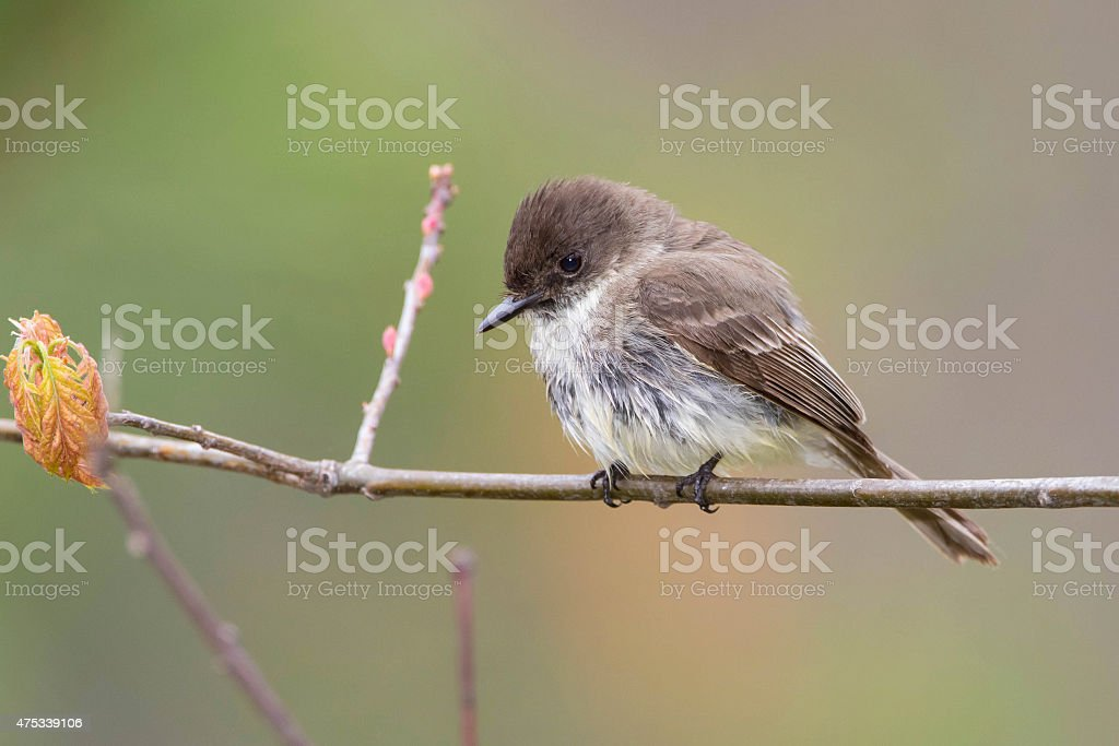 Eastern Phoebe Perched on a Branch stock photo