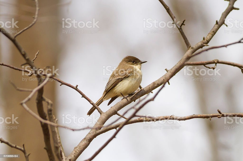 Eastern phoebe perched on a tree branch in the forest stock photo