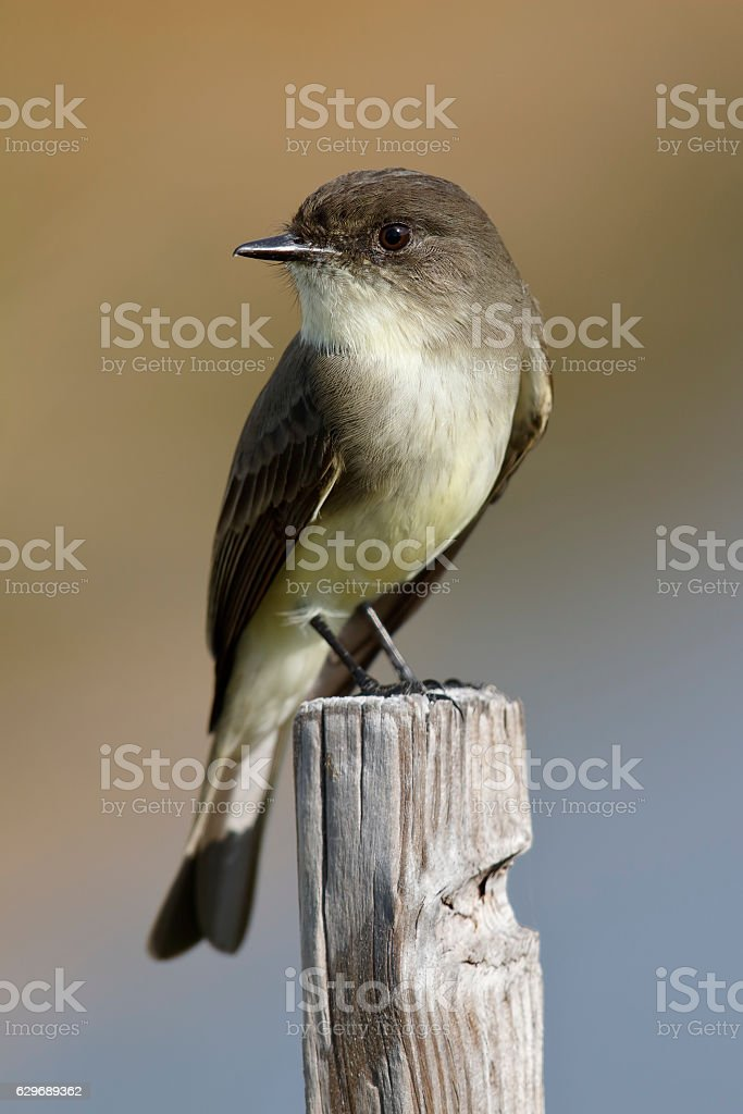 Eastern Phoebe perched on a wooden post - Florida stock photo