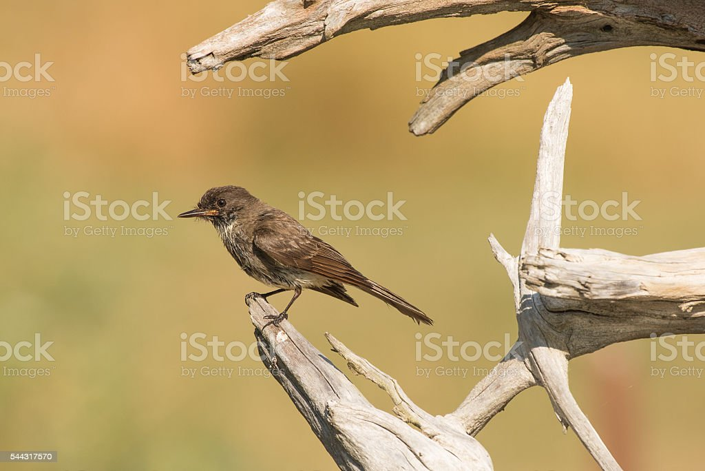 Eastern Phoebe perched on driftwood stock photo