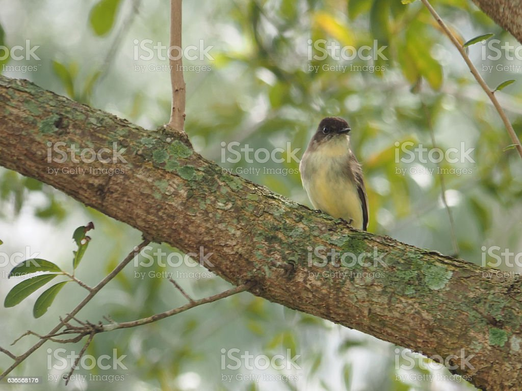 Eastern Phoebe Perched on Tree Wintering in Florida stock photo