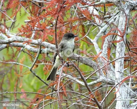 Eastern Phoebe perched in a tree.