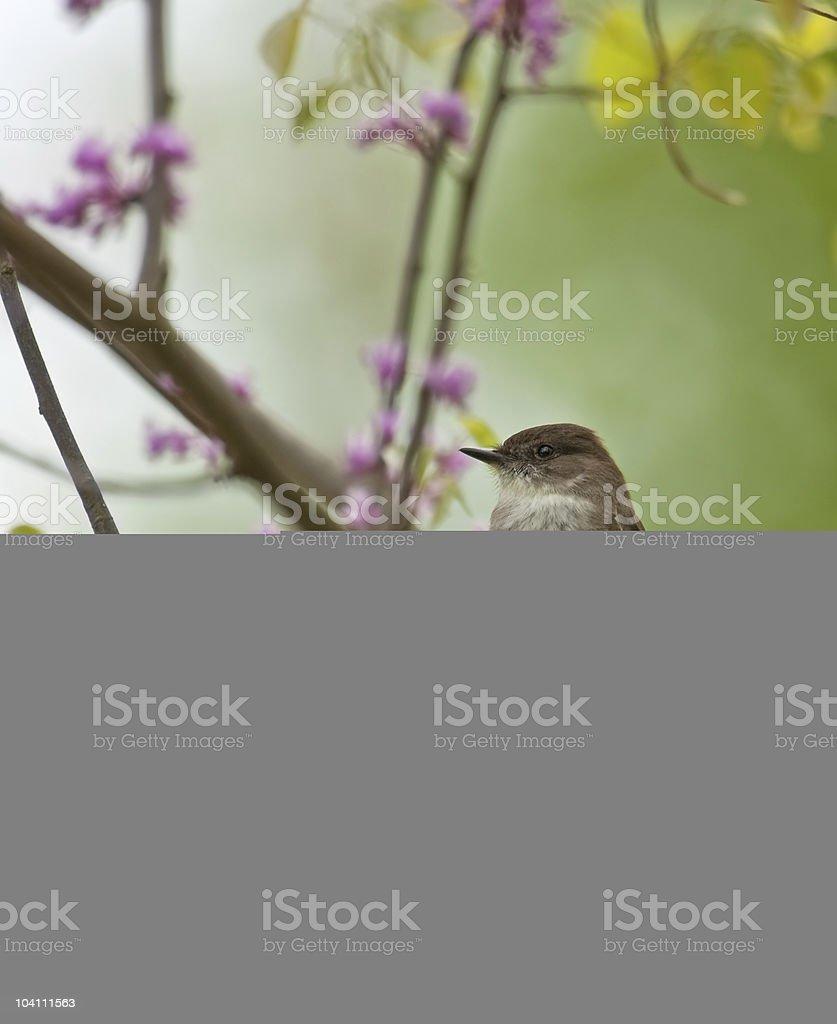 Eastern Phoebe, Sayornis stock photo