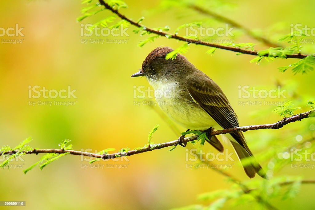 Eastern Phoebe sitting on a tree branch stock photo