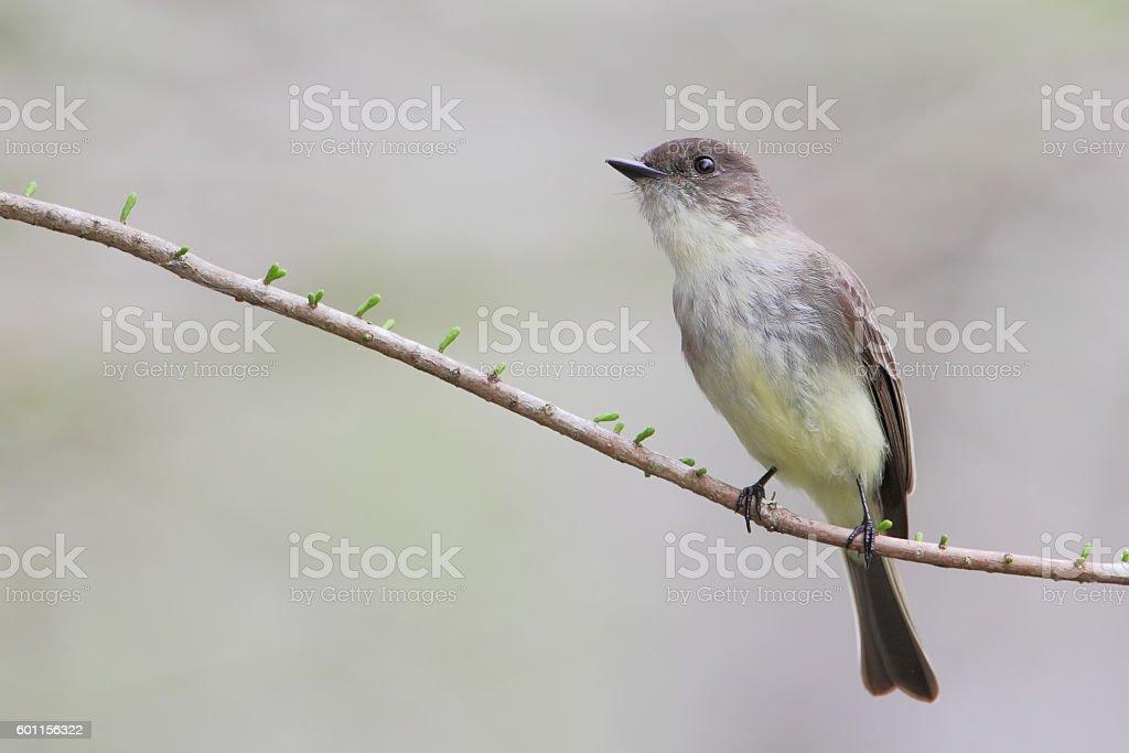 Eastern Phoebe (Sayornis phoebe) sitting on branch, Kissimmee, Florida, USA stock photo