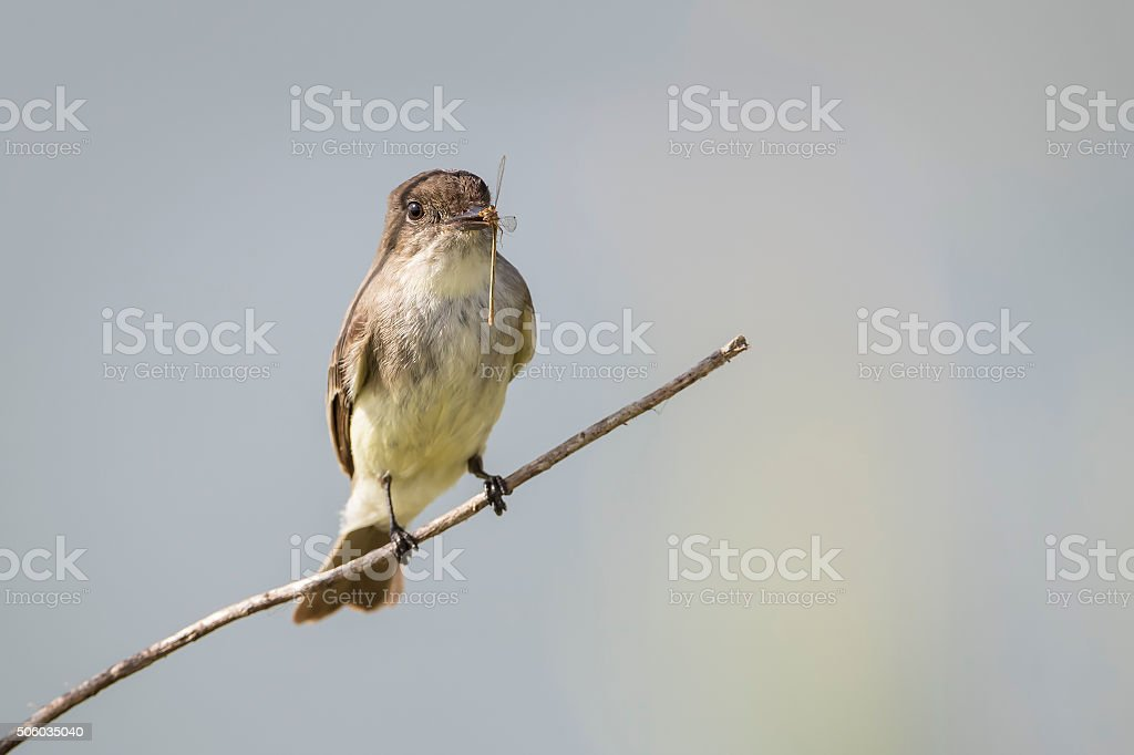 Eastern Phoebe with a Damselfly in its Beak stock photo