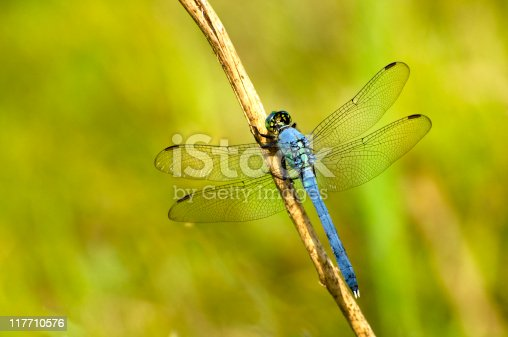 Dragonfly known as Eastern pondhawk,