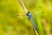 Dragonfly known as Eastern pondhawk,