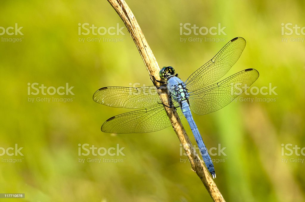 Eastern pondhawk, Erythemis simplicicollis, dragonfly stock photo