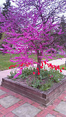 Blossoming Eastern Redbud tree in a park. Red tulips are planted around it.