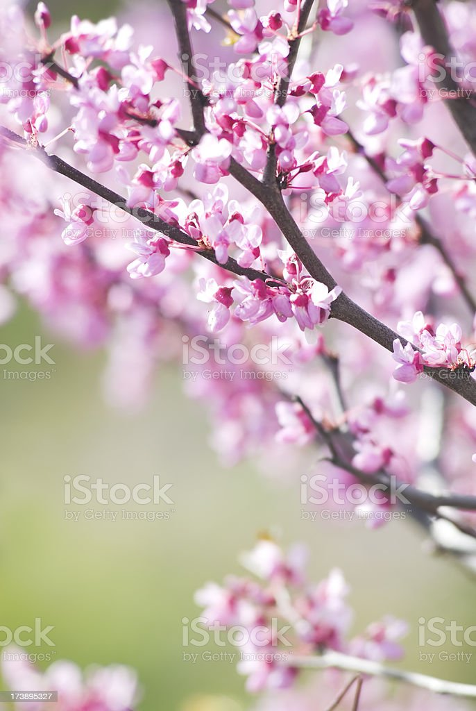Eastern redbud - VI royalty-free stock photo