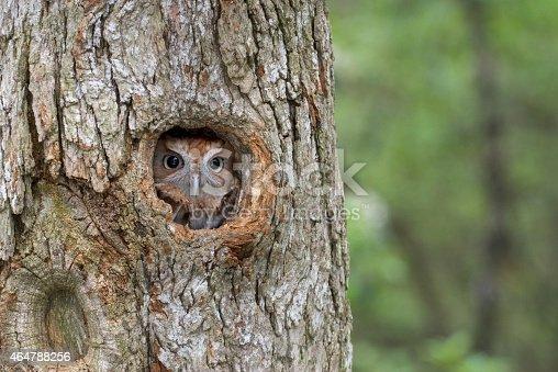 Eastern Screech Owl, finding shelter in a tree cavity