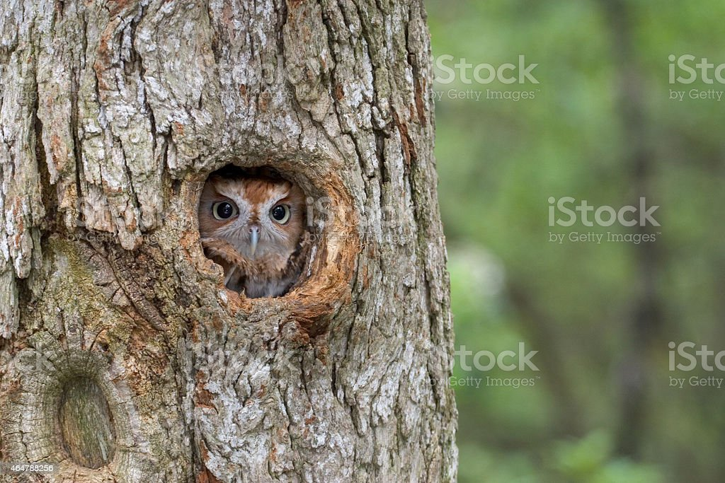 Eastern Screech Owl, hiding stock photo