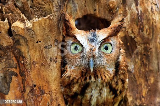 istock Eastern Screech Owl Perched in a Hole in a Tree 1073970188
