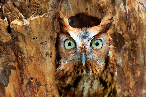 An Eastern Screech Owl peeking out of hole in the tree