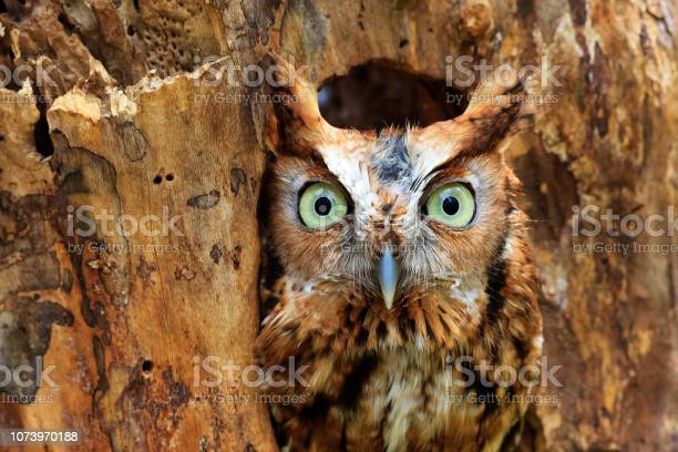 Photo of Eastern Screech Owl Perched in a Hole in a Tree