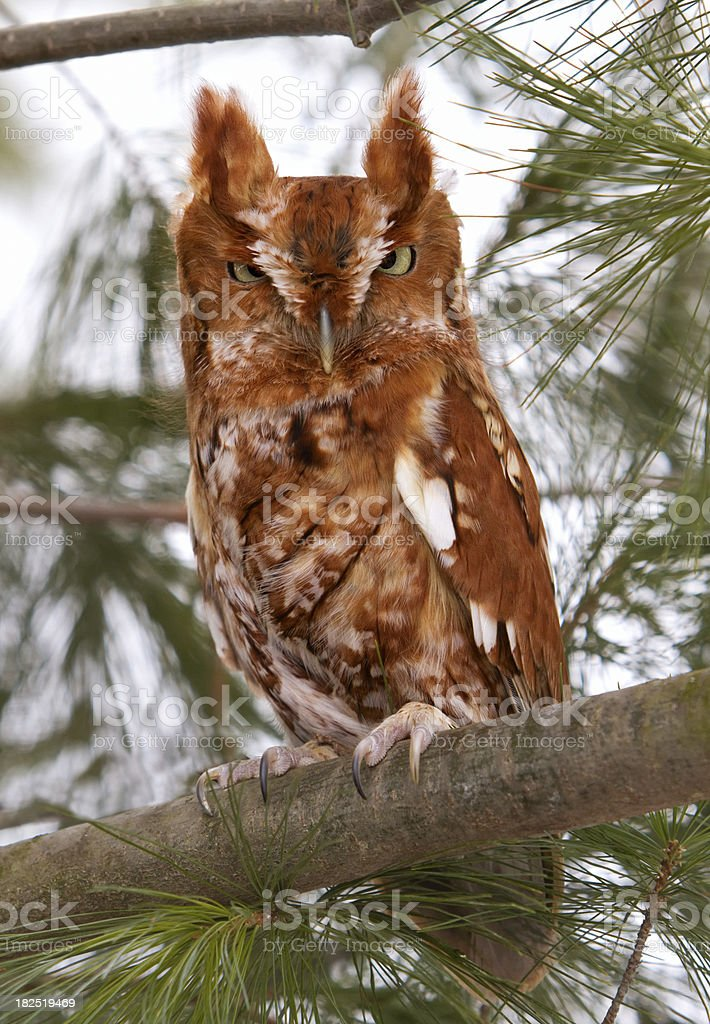 Eastern screech owl red phase. royalty-free stock photo
